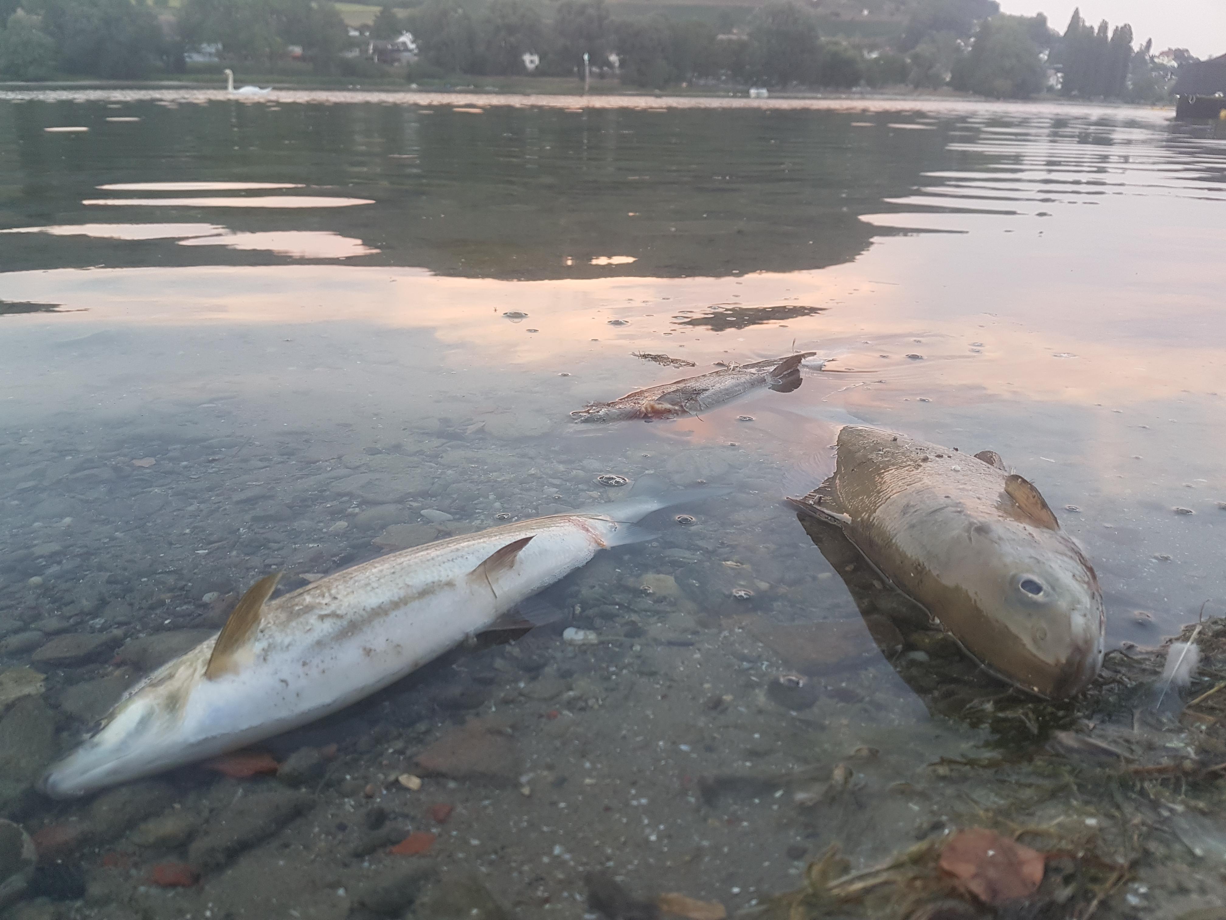 Fischsterben Rhein